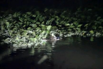 La nuit, les caimans sont de sortie
